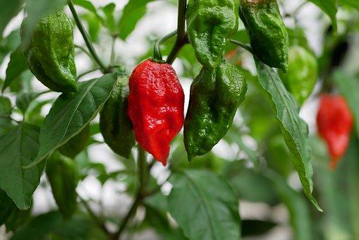 habanero pepper farming