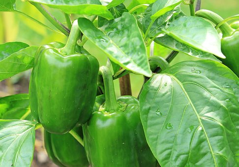 pepper farming in nigeria