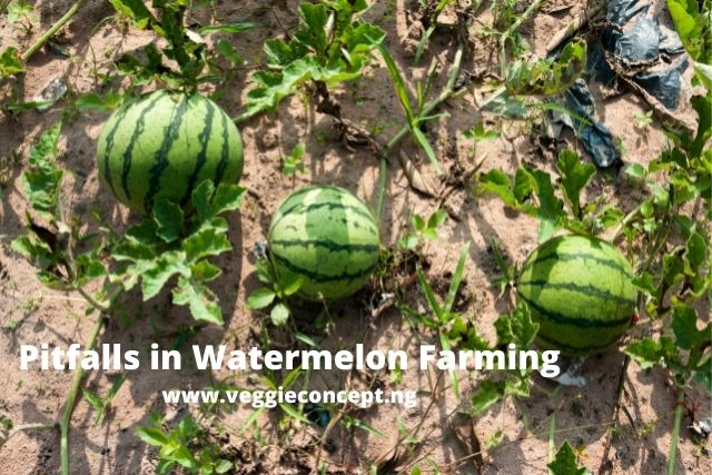 pitfalls in watermelon growing