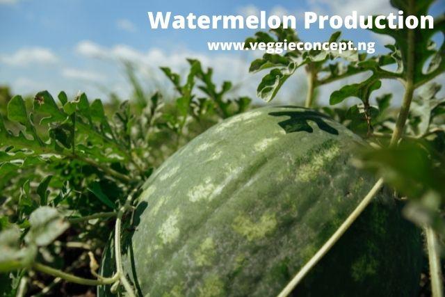 watermelon production in nigeria