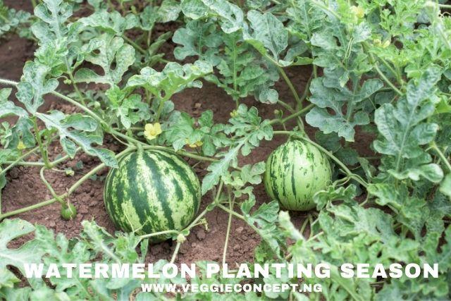 watermelon planting season