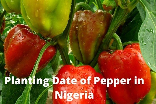 Planting date of pepper in nigeria