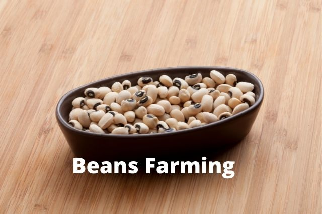 beans farming in nigeria